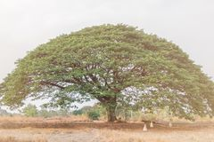 Selective focus giant Monkey pod tree in dried field.Also sometimes known as Samanea saman,Albizia Saman or the rain tree. Selective focus giant Monkey pod tree royalty free stock photography