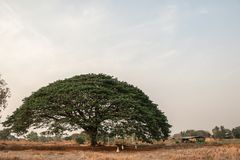 Selective focus giant Monkey pod tree in dried field.Also sometimes known as Samanea saman,Albizia Saman or the rain tree. Selective focus giant Monkey pod tree stock photography