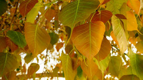 Selective focus of golden Pho or Bodhi tree leaves, heart-shaped leaves in sunshine morning. Bodhi trees are planted close proximi Stock Image