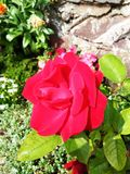 Bright red rose flower Royalty Free Stock Photography