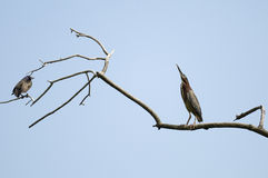 Greenbacked Heron Royalty Free Stock Images