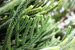 Selective focus of green branch pine xmas tree on blur background. Selective focus of beautiful green branch pine xmas tree and blur gift box, sock background Stock Images