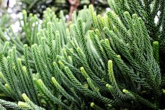 Selective focus of green branch pine xmas tree on blur background. Selective focus of beautiful green branch pine xmas tree and blur gift box, sock background Royalty Free Stock Photo