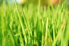 Selective focus of green onion stalks in the vegetable garden Stock Photos