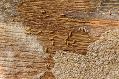 Selective focus on the group of termites on the wood floor Royalty Free Stock Images