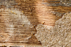 Selective focus on the group of termites on the wood floor Royalty Free Stock Image