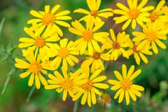Selective focus, group of wild yellow daisies in a wood royalty free stock photography