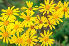 Selective focus, group of wild yellow daisies in a wood stock photography