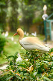 Selective focus image of cattle egret (Bubulcus ibis) bird. Blurred and selective focus image of cattle egret (Bubulcus ibis) bird at Kuala royalty free stock image