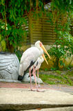 Selective focus image of painted stork (Mycteria leucocephala) Stock Images