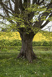 Selective focus landscape of beech tree avenue in English landsc Stock Photography