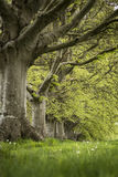 Selective focus landscape of beech tree avenue in English landsc Stock Image