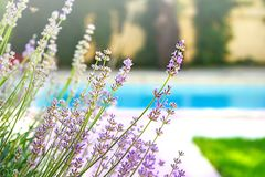 Selective focus on lavender flower in flower garden in green grass under the beautiful house and blue water of swimming pool. stock image