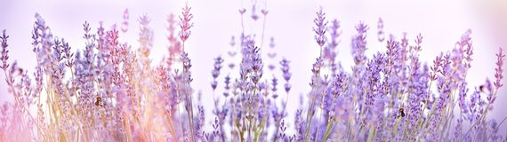 Selective focus on lavender flower in flower garden. Lavender flowers lit by sunlight Royalty Free Stock Photo