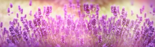Selective focus on lavender flower, lavender flowers lit by sunlight. In flower garden Royalty Free Stock Photos