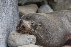 Selective focus of a lazy sleepy seals face Stock Photo