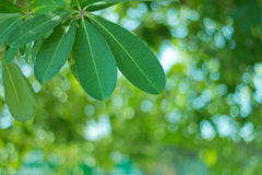 selective focus of Leaf Royalty Free Stock Photo
