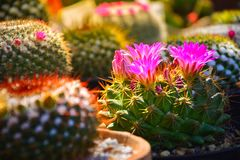 Selective focus of light purple flower of cactus in garden with warm light tone Stock Image