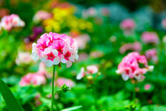 Selective focus of little pink and white daisy flower vibrant color with leaves background Royalty Free Stock Photo
