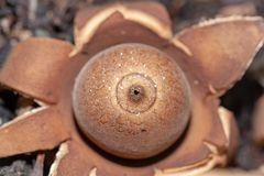 Selective focus - macro and closeup of Australian Fungi - Rounded Earthstar or Geastrum saccatum found in NSW stock images