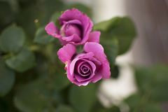 Pink / purple rose unfurling on blurred background Stock Images