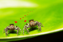 Selective focus macro of two spiders in love on green leaf Stock Image