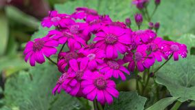 Selective focus of Magenta colour daisy flowers pericallis hybrid. For spring background royalty free stock photo