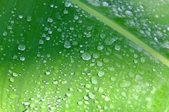 In selective focus many droplets on green tropical banana leaf with sun light for background backdrop. Selective focus many droplets green tropical banana leaf stock images