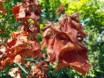 Selective focus on maple branch with dried leaves Stock Photography