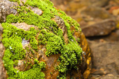 Selective focus moss on stone in stream Stock Photo
