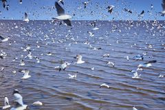 Moving Seagull birds flock on the sea. Selective focus of moving Seagull birds flock on the sea stock photography