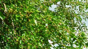Mulberry Fruit on Tree, Fresh Berry in Nature. Selective focus mulberry fruit on tree, fresh berry in nature. Mulberry Hanging on Tree Branches against the Sky stock footage