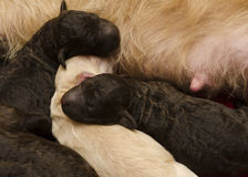 Pups Feeding and Sleeping Royalty Free Stock Image