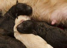 Pups Feeding and Sleeping Royalty Free Stock Image