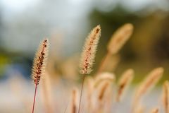 Selective focus on one golden stalk in the backlight royalty free stock images