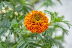 Selective Focus At A Orange Marigold Flower With Green Background. royalty free stock image