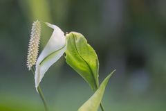 Selective focus Peace lilly. Close up Spathiphyllum flower in botanic garden close up Stock Photos
