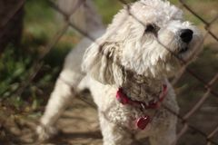 Selective Focus Photo of Adult White Toy Poodle in Front of Chain Link Fence Royalty Free Stock Images