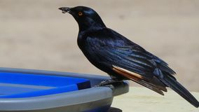 Selective Focus Photo of Black Raven on Plastic Container Royalty Free Stock Photos