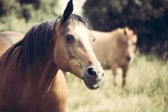 Selective Focus Photo of Brown Horse royalty free stock photo