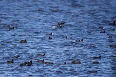 The Eurasian coot Fulica atra birds at lake. Selective focus photo. Crowd of The Eurasian coot Fulica atra birds at lake Royalty Free Stock Images