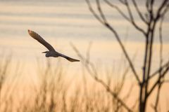 Selective focus photo.  The great egret Ardea alba. Also known as common egret and large egret, flying over lake before sunset. Selective focus photo.  The royalty free stock photography