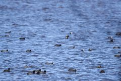 The Eurasian coot Fulica atra birds at lake. Selective focus photo. A lot of The Eurasian coot Fulica atra birds swimming at lake Stock Photos