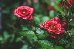 Selective Focus Photo Og Red Petaled Flowers Royalty Free Stock Photo