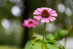 Selective Focus Photo of Pink Coneflower stock photo