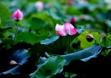 Selective Focus Photo of Pink and White Petaled Flowers Stock Image