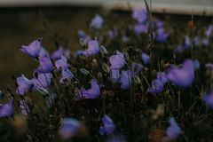 Selective Focus Photo of Purple Petaled Flowers Royalty Free Stock Photography