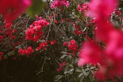 Selective Focus Photo of Red Bougainvillea Flowers stock images