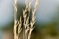 Selective Focus Photo of Wheat at Daytime Royalty Free Stock Images