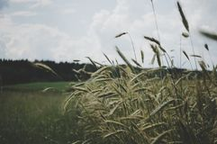 Selective Focus Photo of Wheat Plant Under Cloudy Sky Royalty Free Stock Photography